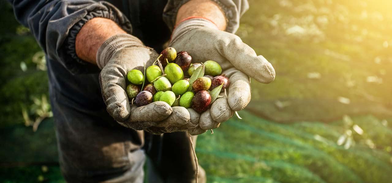 Zwei Hände mit Hanschuhen zu einer Schale geformt, in der Oliven liegen