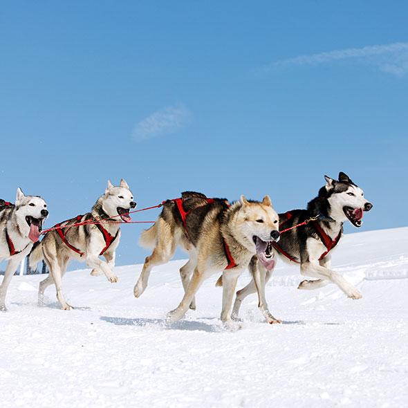 Hunde laufen auf Schnee